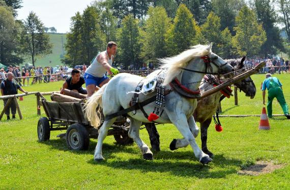 3e4da2426 Biele kone v záprahu a poháňajúci furman s pomocníkom počas behu