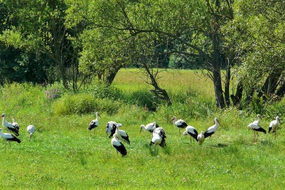 Amatér veľké vtáky